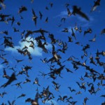 Pictured here is a group of bats. Because bats are mammals, they can develop rabies, but most do not have the disease. Dogs are the animals responsible for most human rabies cases and deaths worldwide.