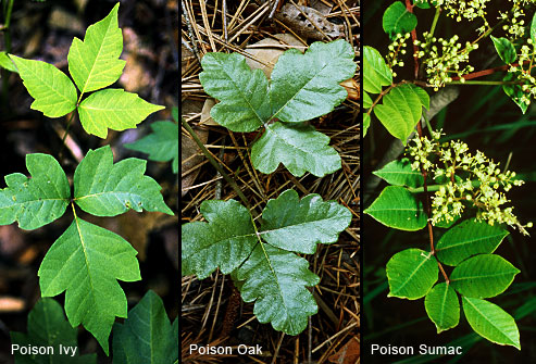 Recognize Poison Oak, Poison Ivy, and Poison Sumac. Protect yourself from exposure.