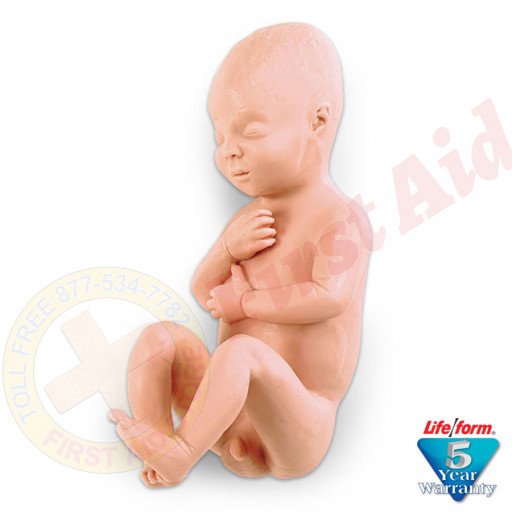 The Life/form® Human Fetus Replica - Full-Term Male